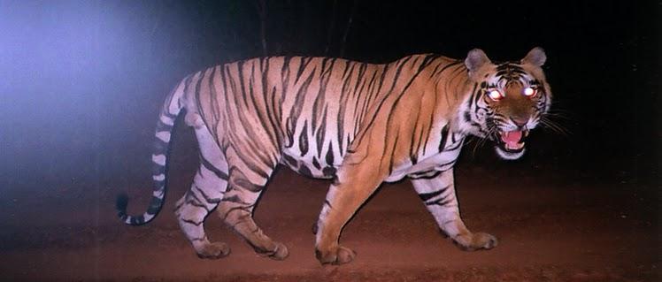 Tiger on his night hunt
